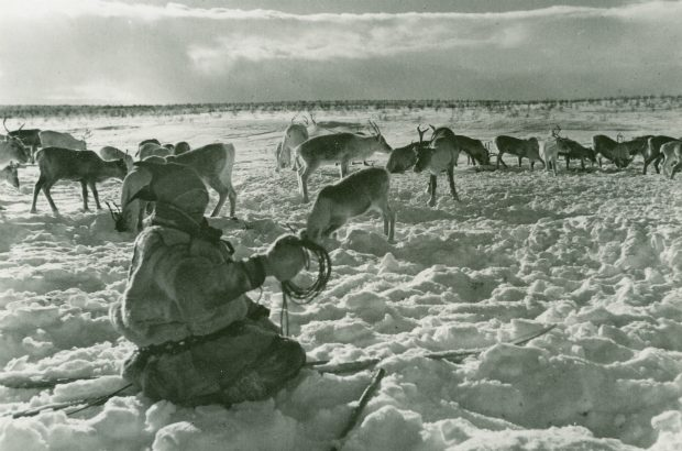 Reindeer with Sami people of North Artic Circle, Norway